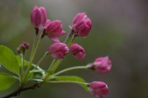 donker roze bloesem, foto van Agnes van der Graaf